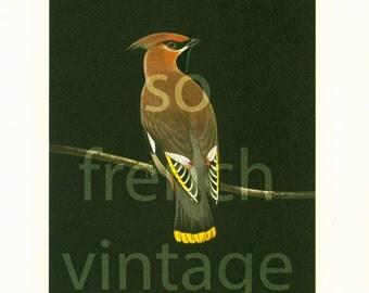 1961 Bohemian Waxwing, Bombycilla garrulus, vintage Bird Print, Ornithology, nature wall art