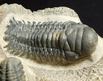 TWO! Species! A HUGE Natural Cheirurus Trilobite Fossil With a Phacops! 844gr