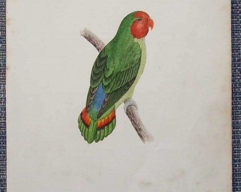Antique hand tinted bird  illustration (Red faced love bird)