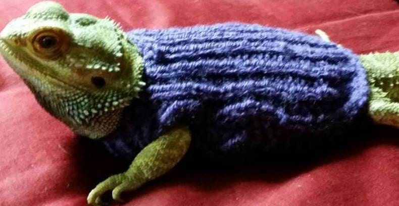 Knitting Pattern For Bearded Dragon : Bearded Dragon Sweaters Hamster Clothes Hamster Sweater