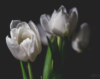 White Tulip V, Photograph