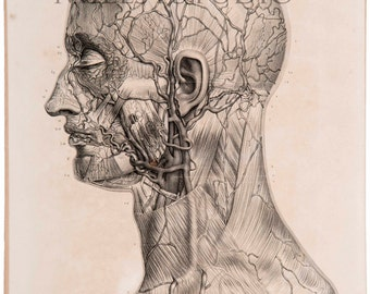 Anatomical sheet. Arteries and veins of the face. Arteries et veins of the face. Reproduction of the drawing of the Treaty Anatomy of man