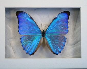 Dazzling Blue Morpho Aurora -Real Framed Butterfly