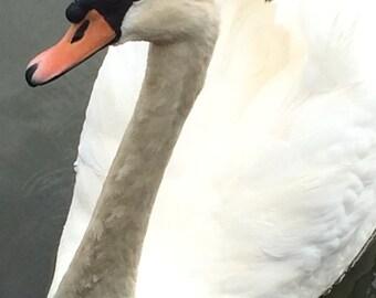 Swan In Lake
