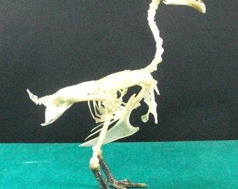 Taxidermy Bantam skeleton
