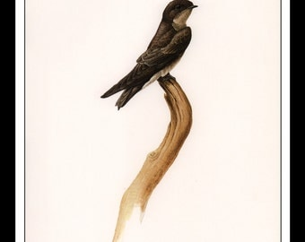 """Vintage Book Print 1968 Birds Of The Eastern Forest : Rough Winged Swallow Single Page Wall Art Decor Print 9.5"""" x 13"""""""