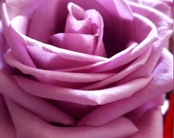 Lavender Rose, Geometry