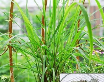 Lemon Grass - 2 Pack
