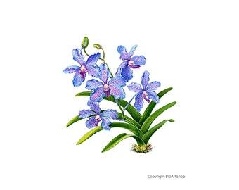orchid blue vanda (vanda coerulea)
