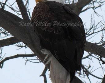 Yellow Eyed Eagle