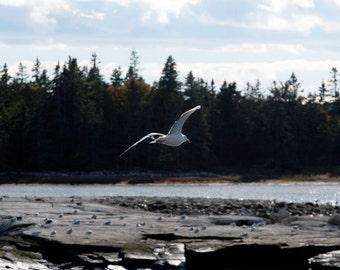 Maine Seagull; Bird in Flight