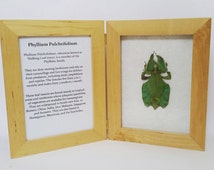 Framed real Leaf Insect display specimen with information sheet Taxidermy Oddities