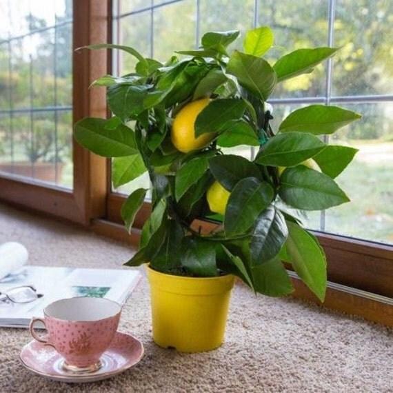 Buy 3 Get 1 Free-Lemon Tree Seeds- PEAR LEMON - Medicinal Benefits - Helps Weight Loss - 10 Seeds