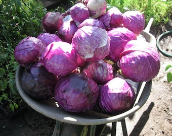 Cabbage Red Acre - Organic Heirloom