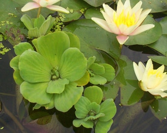 Pond Plants- Pistia stratiotes- Water Lettuce- green floater- 20+ plants-  Almost Free Shipping