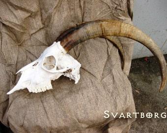 large skull goat horns 50 cm  free shipping