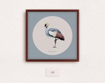Grey Crowned Crane (Balearica regulorum) - zoological illustration, vintage style, scientific drawing