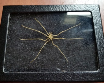 Real Sea Spider