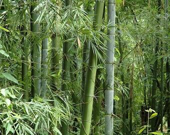 Bambusa bambos 15 Seeds, Giant Indian Thorny Bamboo, Garden Clumping Bambusa arundinacea