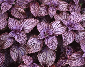 Perilla Frutescens 50 OR 500 Seeds, Edible Medicinal Landscaping Beefsteak Herb, Shiso