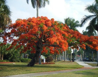 Delonix Regia Tree 10/25/75/200 Seeds, Red Royal Flowering Poinciana, Garden Landscaping