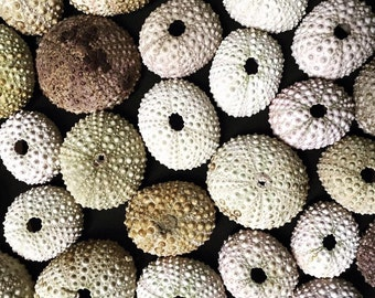Small Dehydrated Sea Urchins