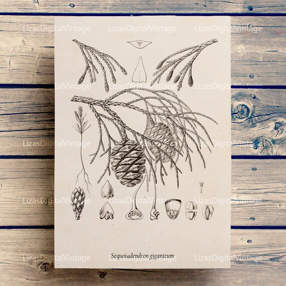 Printable art, Large botanical prints, Antique botanical, Botanical Art, Tree print, Prints vintage, Sequoia, A3, 8x10, 11x14, PNG JPG