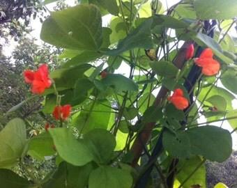Scarlet Runner Bean Seeds