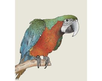 Parrot - A4 Print / Postcard