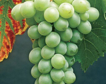 2 Himrod - Grape Plant/Vine - White Seedless - Fall Shipping