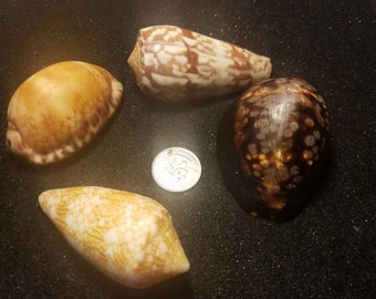 Big shells Hawaiian sea shell lot