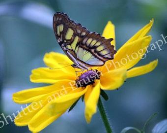 Malechite Butterfly Photograph