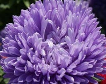 Lavender Blue Aster Flower Seeds/Tall Double Gremlin/Annual   30+