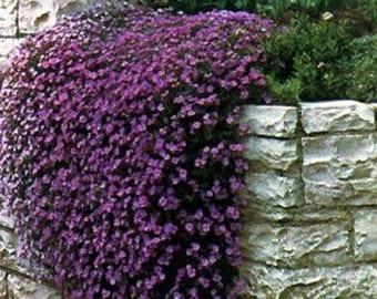 Aubrieta Rock Cress Purple Flower Seeds / Perennial   50+