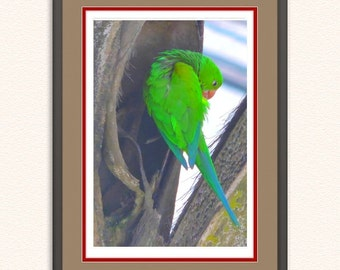 Rico Parakeet (Brotogeris).