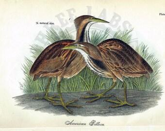 Original 1888 Chromolithograph Print of American Bittern