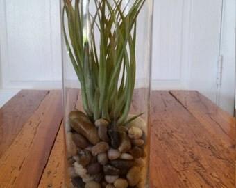 Vase terrarium with Rodrigueziana Brachycaulos air plant