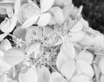 Black & White Hydrangea
