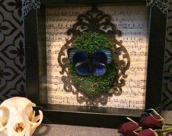 Mounted Butterfly on Dried Moss Shadow Box, Real Butterfly, Taxidermy, Framed Butterfly, Victorian, Gothic, Memento Mori, Oddity