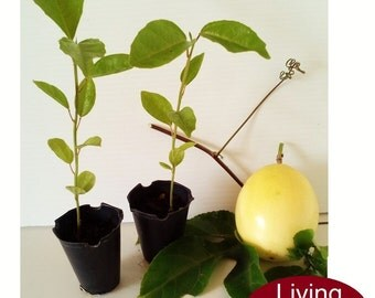 Passion Fruit 2 Starter Seedling Plants (Passiflora Edulis)
