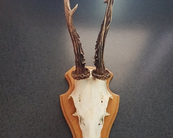 Vintage Real Roe Deer Skull On Shield