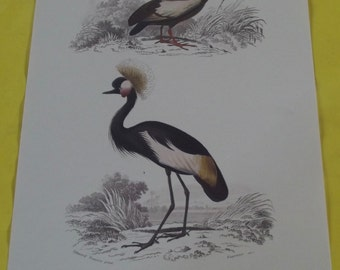 Displays School Zoology Birds Crowned Crane / Crested Ibis 1970