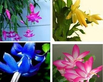 free ship Zygocactus truncatus,Schlumbergera seeds,Indoor potted plants, green plants - 10 seeds seeds