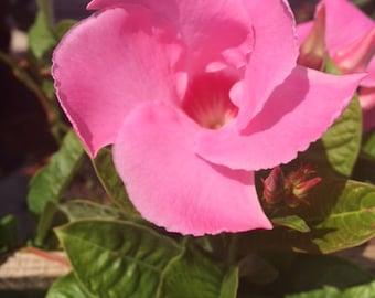 Pink Mandevilla Vine 'Alice DuPont'  ~ Live Starter Plant