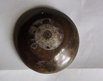 polished  ammonite paperweight