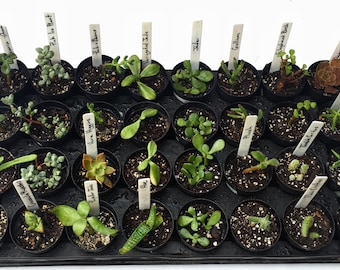 Exotic Succulent Plant cutting-succulent clipping-mini succulents- gardening- succulent garden- drought tolerant-blue succulent
