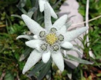 50+ Edelweiss Ground Cover / Perennial Flower Seeds