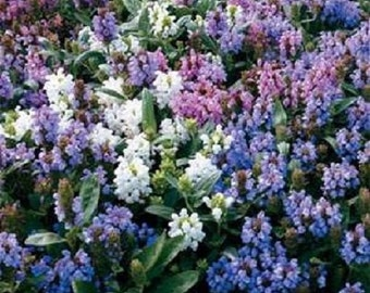 50+ Mix Prunella / Ground Cover / Perennial Flower Seeds