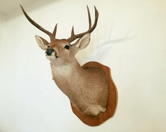 Head of deer, Deer Head