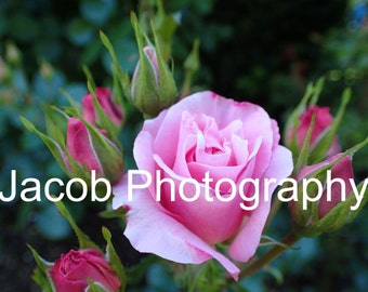 Pink Rose with Rose Buds